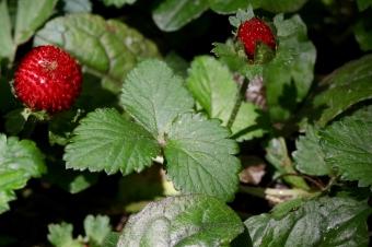 Mock Strawberries