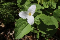 Large-flowered (or White) Trillium