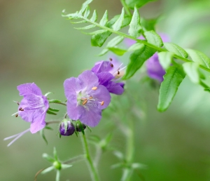 Purple Phacelia 1