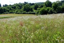 A field of Daisy Fleabane at the Brown Farm