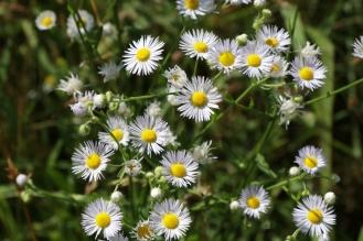 Daisy Fleabane or Annual Fleabane