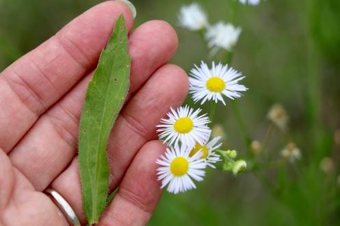 Daisy Fleabane: fine hair on the leaf and flower buds