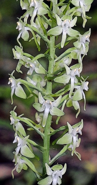 Padleaf Rein Orchid or Round-leaved orchid