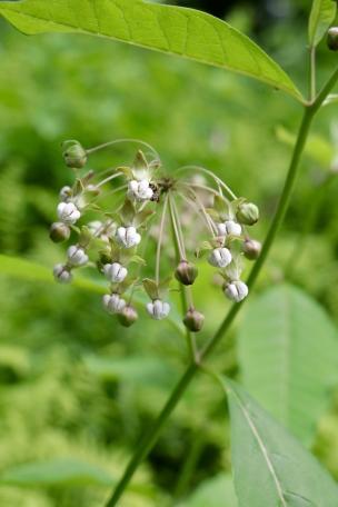 Poke Milkweed