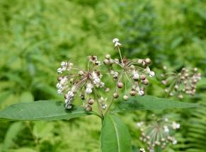 Drooping umbels of poke milkweed