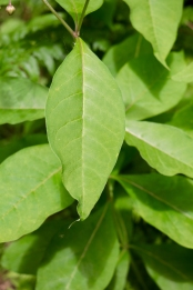 Leaves are simple, broadly elliptic, with smooth edges