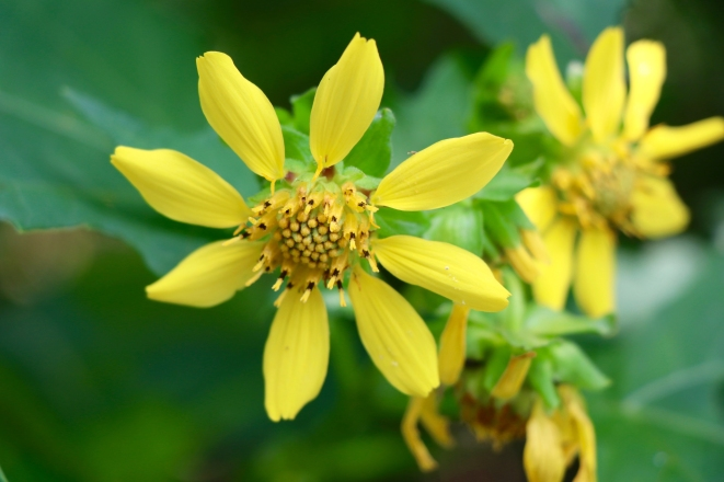 Yellow Leafcup
