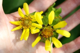 Yellow Leafcup: here you can see the nutlets forming below the ray flowers on the more mature flower at right