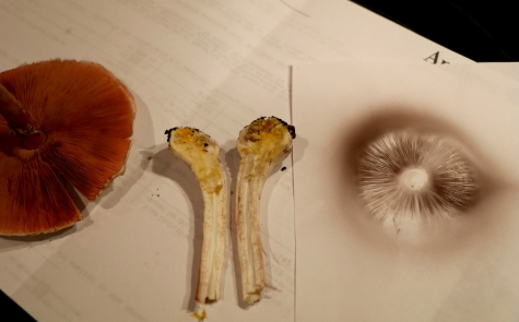 Flesh of the base is yellow staining; spore print is brown.