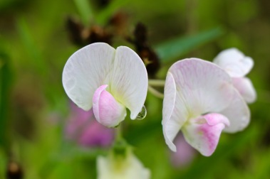 Perennial Sweet Pea or Everlasting Pea