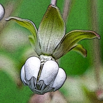 "Milkweed flower. Note the 5 petals that are bent backwards and the 5 white hoods, each bearing a single white, curved ""horn"" that is longer than the hood."