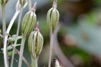 Three Birds Orchid Seed capsule