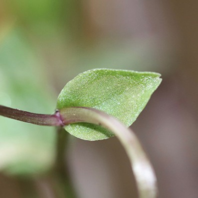 Leaves are ovate, entire, and clasping