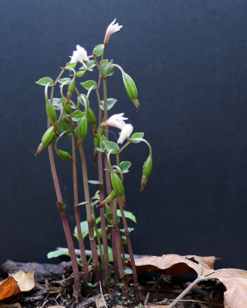 Plants are three to eight inches in height with alternate leaves