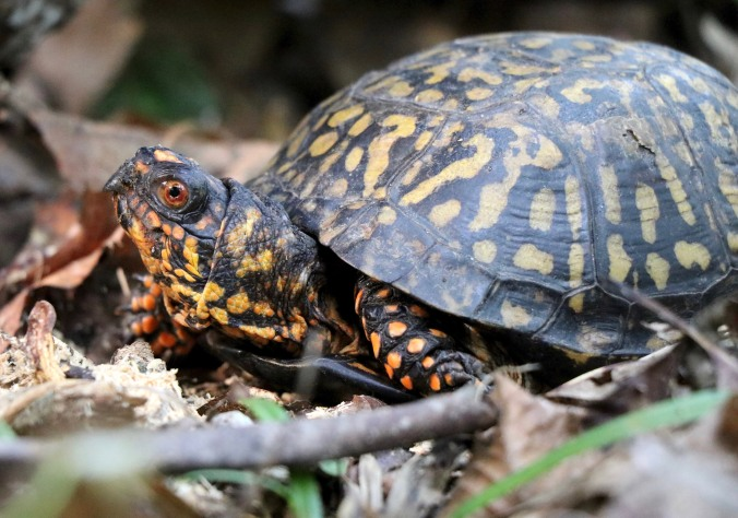 A visitor who stopped by while we were photographing Coralroot in September. Who doesn't cherish a visit from a box turtle?
