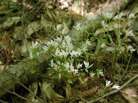 Forest Service image of a colony in bloom
