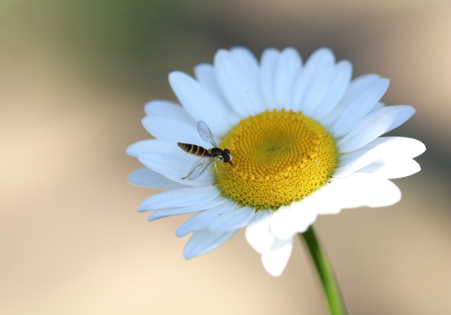 A hover fly sipping nectar from an oxeye daisy