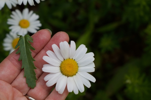 Oxeye daisy: lobed, lanceolate leaf and flower