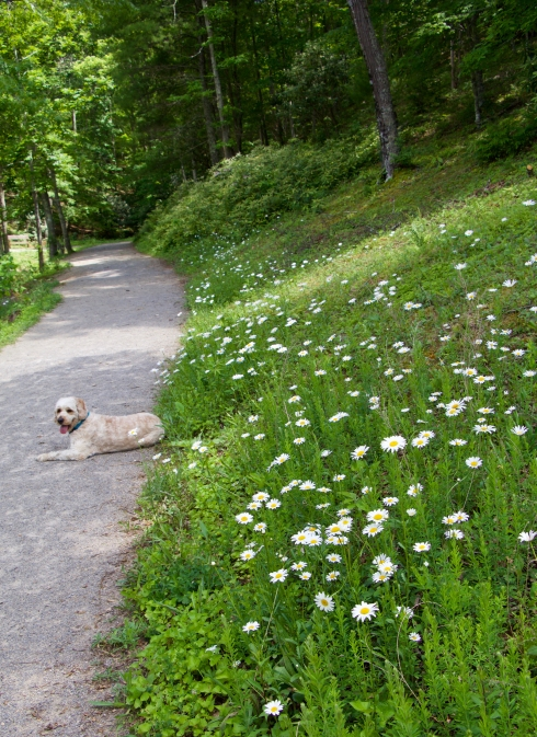 A bank of oxeye daisy above Pandapas Pond; and Miss Grace!