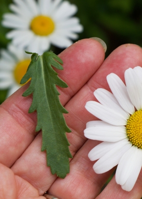 oxeye leaf