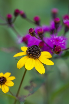 Brown-eyed Susans with ironweed