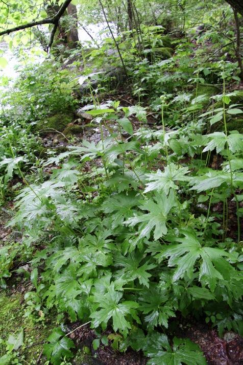 Tassel Rue or False Bugbane in bud in May at Crabtree Falls
