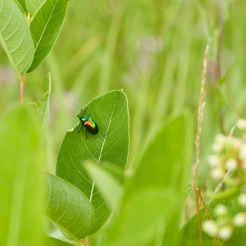 Dogbane Beetle munching on a dogbane leaf