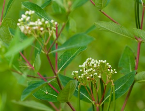 Indian Hemp or Hemp Dogbane